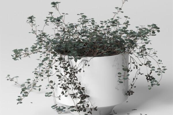 آبجکت سه بعدی گل  و گیاه سولیرولیا عکس اصلی