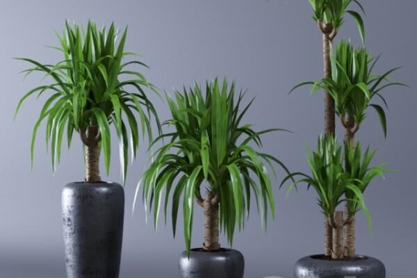 آبجکت سه بعدی گیاه یوکا اپارتمانی عکس اصلی